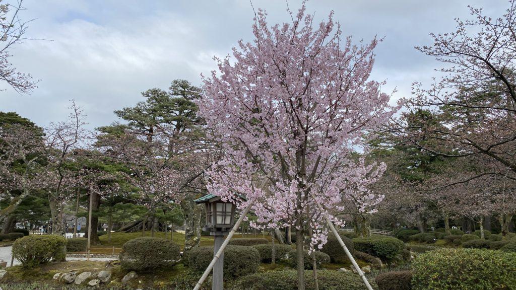 兼六園 春 3月 桜