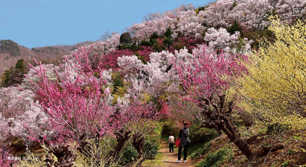 花見山公園の見頃はやっぱり春